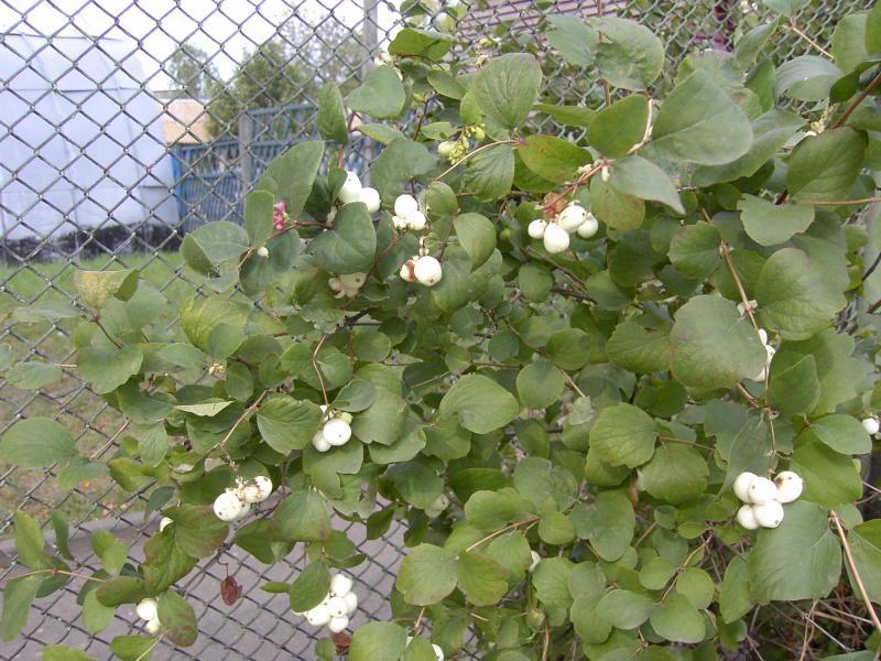 Цветок снежноягодник: посадка и уход в открытом грунте, фото